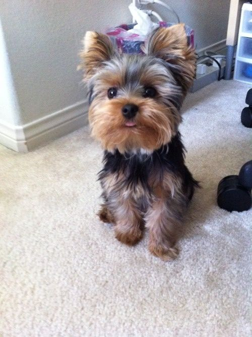 Haircuts For Teacup Yorkies Top 35 Latest Yorkie