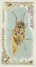 2015 Topps Allen & Ginter A World Beneath Our Feet #BUG-15 Tsetse Fly