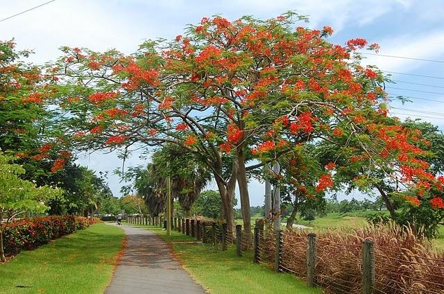 Flamboyan tree in Puerto Rico