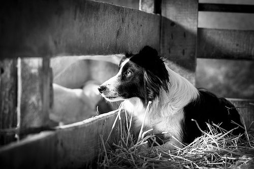 Border Collies are beautiful, extremely intelligent dogs who often suffer from prolonged boredom as house pets, which can lead to destructive behaviors. Every dog needs regular physical activity and mental stimulation, but not all breeds require the same intensive exercise to be happy.