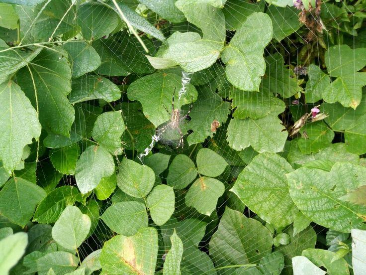 El verde, la araña tejedora y las flores de mi barrio 🌸 僕の近所の花 🌻✨ #Japón #日本 #おはようございます #花