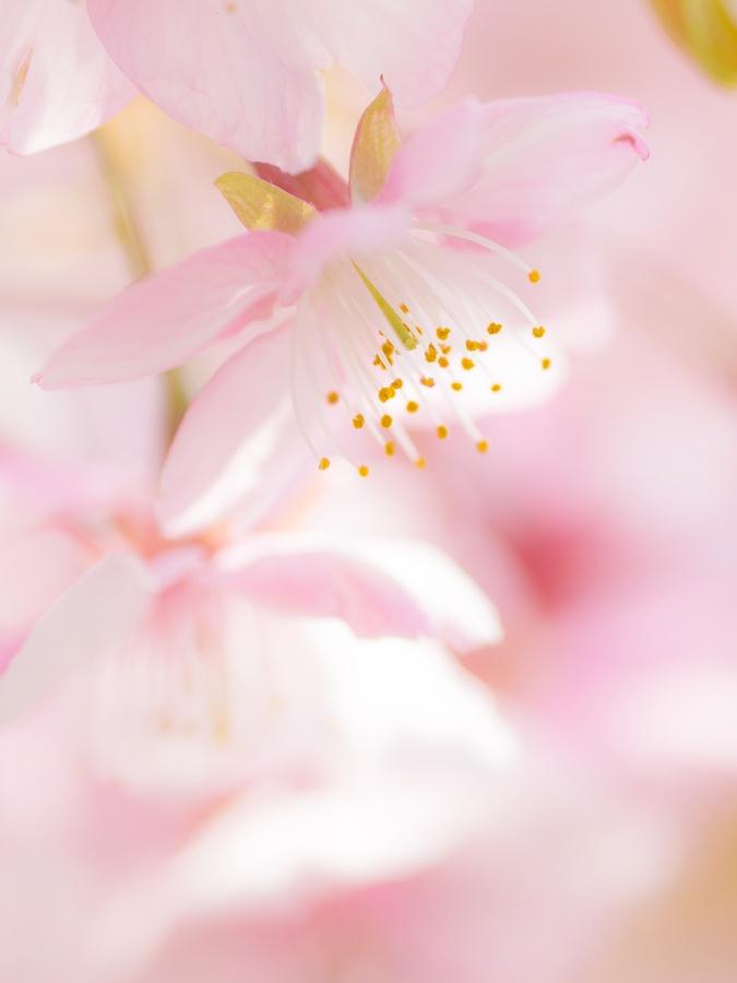 cherry blossom by Karakuri Monmon