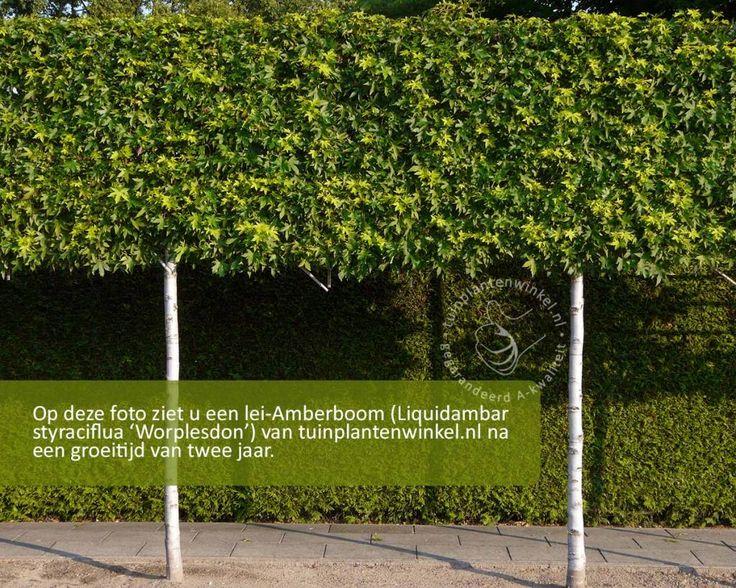 Lei-Amberboom - mooie leiboom met een spectaculaire herfstkleur www.tuinplantenwinkel.nl