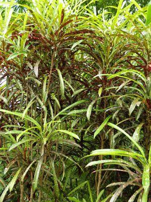 Narrow leaf croton Codiaeum Aureum-macalatum at Orchid World Barbados by garden muses-not another Toronto gardening blog