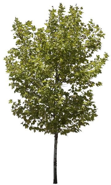 3096 x 5204 Pixels. PNG. Transparent background. Platanus occidentalis Sycamore, American Sycamore, American Planetree, Occidental Plane, Plane tree. Native to North America. where it is found in riparian and wetland areas. Able to endure the urban environment. Extensively planted in streets, gardens and parks.