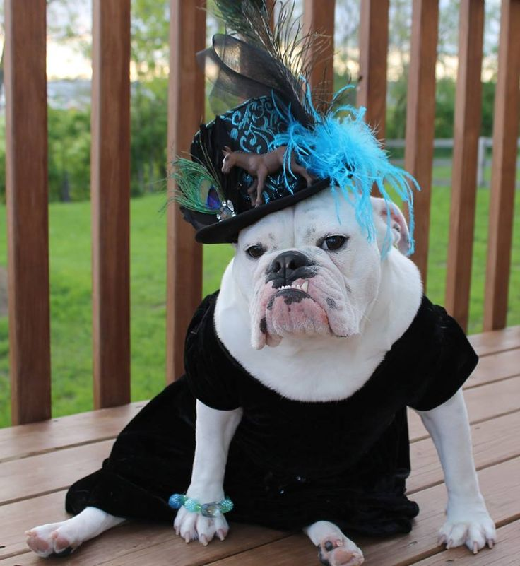 ❤ Derby ready ❤ Posted on Bulldog Pics 2.0