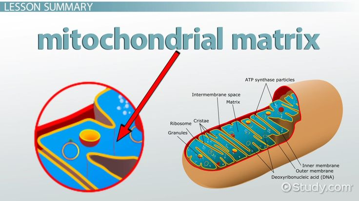 The mitochondrion is one of the most important organelles in ...