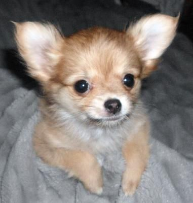 chihuahua pomeranian mix full grown pom chi s long haired pomchi a pomchi is a hybrid 4656