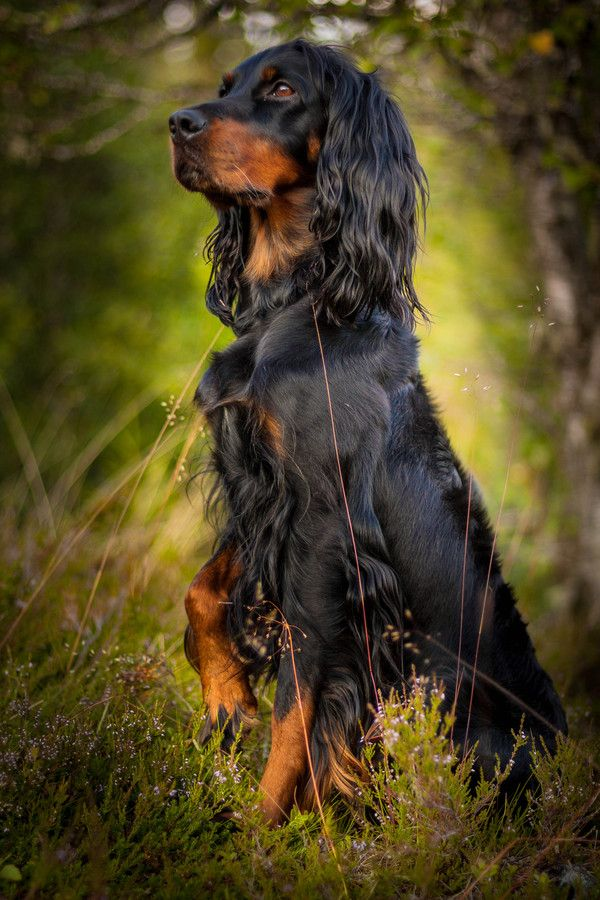 Gordon Setter. First I will have an English Cocker and then a Gordon Setter ! Love love Love !