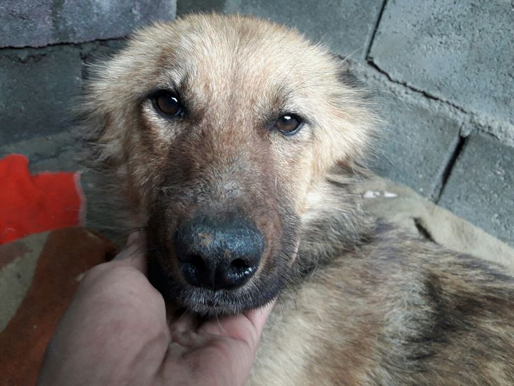 Apodis is an adoptable shepherd searching for a forever family near Langley, BC. Use Petfinder to find adoptable pets in your area.