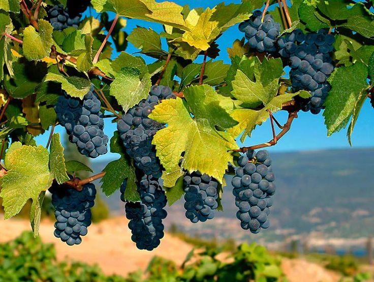 У нас весна, а в Чили сбор винограда! - Ehwaz - best tours!