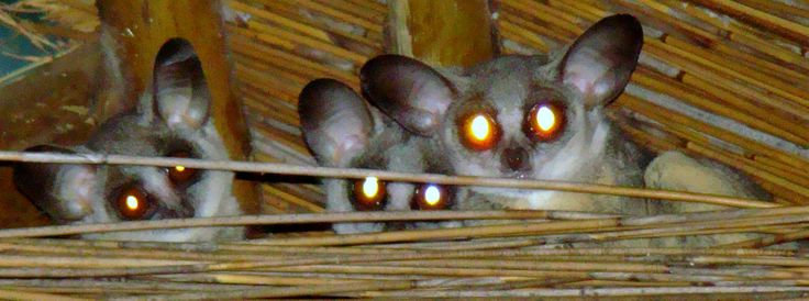 Family of Bush Babies in a thatched Roof on a wildlife estate close to Hoedspruit