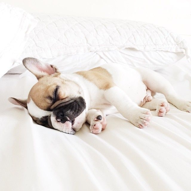 Looove to sleep in my parent's bed on their day off! Follow me here: https://www.instagram.com/herman_thefrenchie/  #hermanthefrenchie #frenchie #frenchbulldog #sleepinglate #puppy
