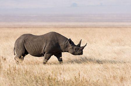 Öt éve nem láttak egyetlen példányt sem Nyugat-Afrikában, így hivatalosan is kipusztultnak minősítették az alfajt.