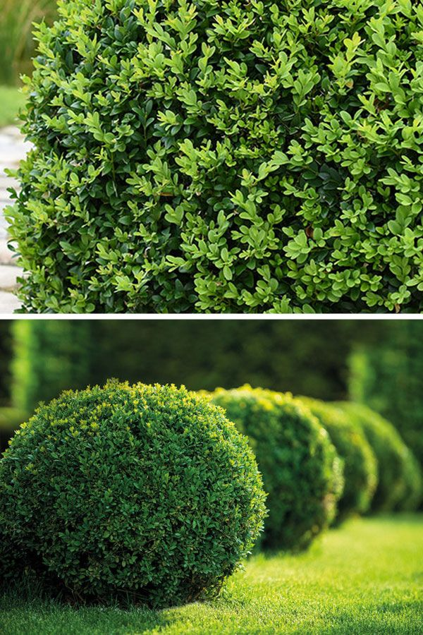 Buchsbaum Kugel Buchsbaum Immergrune Pflanzen Pflanzen
