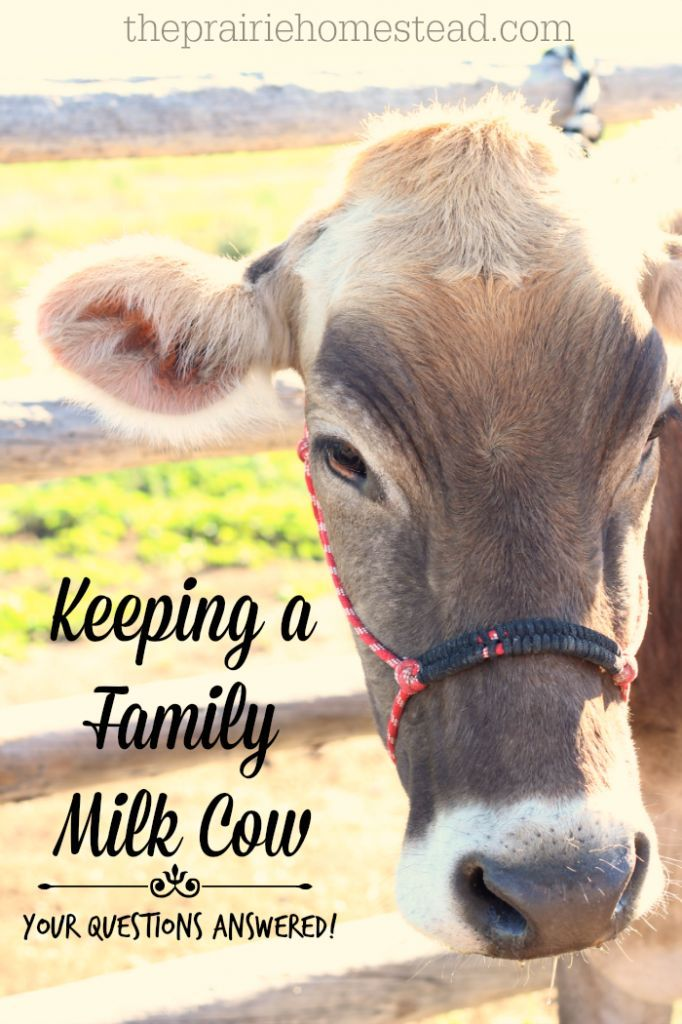 We raise our own grass fed beef, but I'm interested in a dairy animal. Here's a great look at what's involved.
