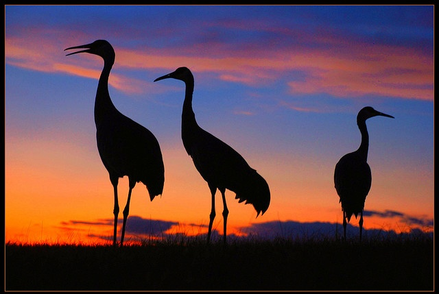 port st. lucie florida --sandhill cranes, they walk the streets like they own the place.