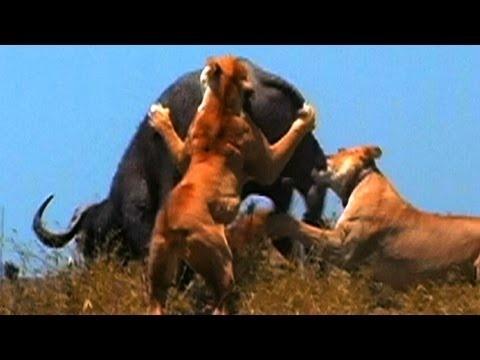 Worlds Deadliest - Lion Pack vs. Buffalo Tough Battle
