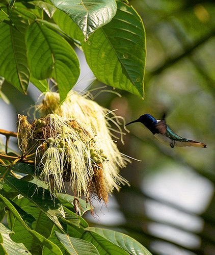 TROCHILIDAE - Florisuga mellivora (masc) - White-necked jacobin - Colibrí collarejo 14CMS-96DPI 3   por Reserva Natural Palmari - Official site