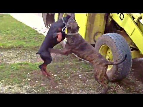 Pitbull vs Presa Canario - Ultimate Clash - YouTube