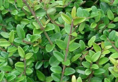 Lonicera nitida BORDURA 硬い arbusti ornamentali sempreverdi online - arbusti online - cm 30-40 piccoli bianchi seguiti da bacche nere primavera sole
