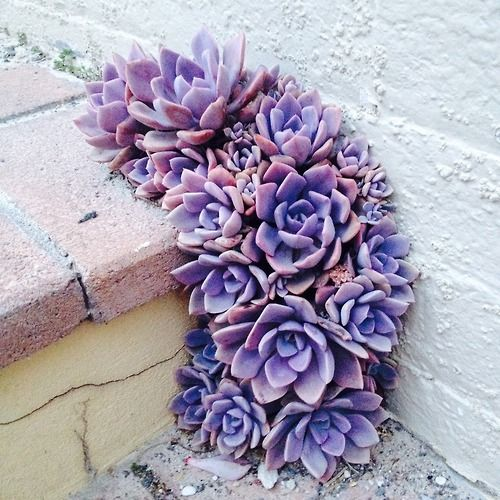 Lavender succulents - growing like a weed in this crack. Beautiful.