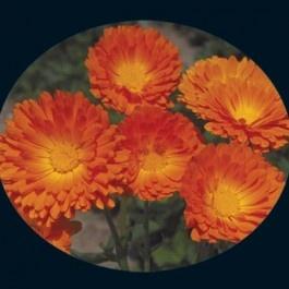 Calendula seeds: Deep Orange, Creek Heirloom, Orange Calendula, Heirloom Seeds, Improvements Orange, Calendula Seeds, Ball Improvements, Baker Creek, Cut Flower