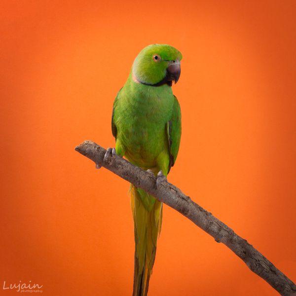 ببغاء الدرة Photoshop Photography Photoshop Parrot