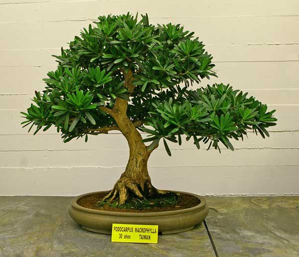 Rp podocarpus macrophyllus steineibe pine of the for Bonsai hydrokultur