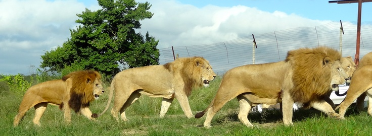 The Pride heading for Food - The Lion Park , Pietermaritzburg, South Africa