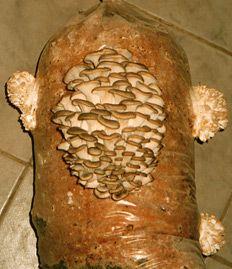 вешенка, выращиваем грибы на даче, краткое описание способа, на древесных чурбаках,