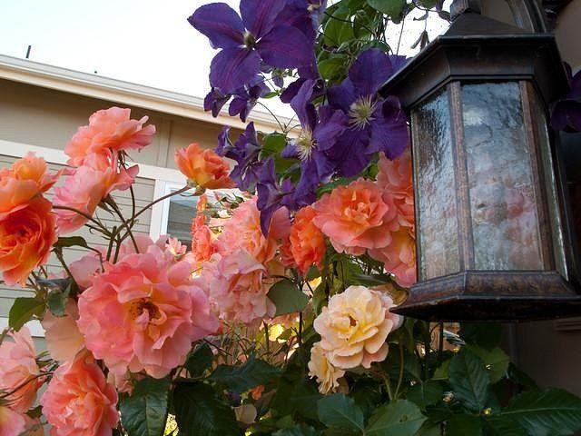 Плетистые розы, клематисы, девичий виноград и декоративная фасоль — в саду всему найдется место!  Обычная сетка-рабица, закрепленная на глухом заборе, специальные металлические опоры для растений, старое дерево, трельяж, беседка или пергола — решайте сами, что именно стоит украсить вьющимися растениями. А мы поможем определиться, какие растения для сада выбрать: декоративную листву или яркие цветы, плодоносящие многолетники или душистые однолетники.  Плетистые розы (Rosa climber)  Каждый…