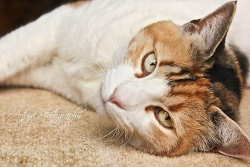 Lazy Cat - Gato Perezoso