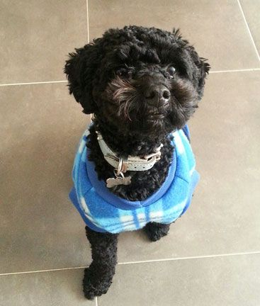 Benji, a baby Toy Poodle, posing beautifully for his photo.