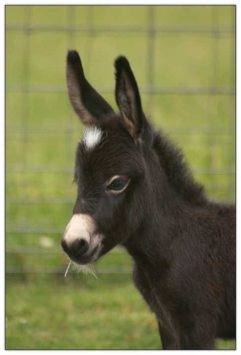 Black Miniature donkey (Jennet) named Incognito barn name Nito. - from Half Ass Acres