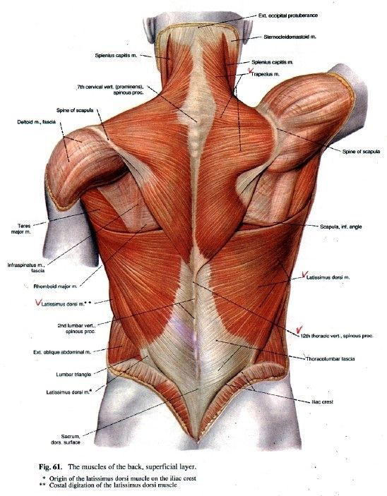 The back | 인체 | Pinterest | Anatomy, Human anatomy and 3d anatomy