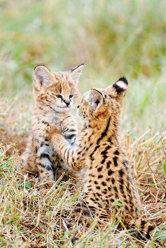 *Mirror Image - Serval Kittens