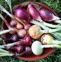 The Art of Harvesting Onions, great read on how to store and dry your onions from growveg.com