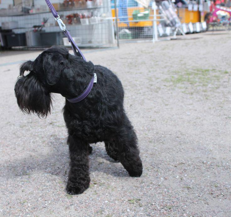 """Zumi"" wearing purple classic-collar and purple leash :) #dog #black #miniatureschnauzer #purple #leather #design"