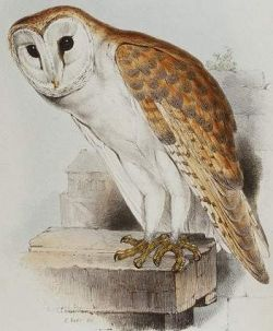 La Dame Blanche from France. Makes a very loud hissing noise in the middle of the night while flying over head. Effraie des clochers © John Gould
