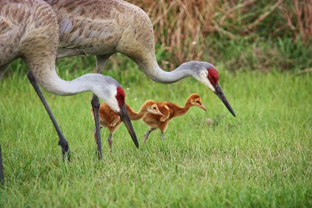 """Sandhill Cranes, you see many on Manitoulin Island in late June. They are gorgeous, and when they get excited or scared, the red patch on their """"forehead"""" gets super bright! Manitoulin Island, Ontario, Canada"""