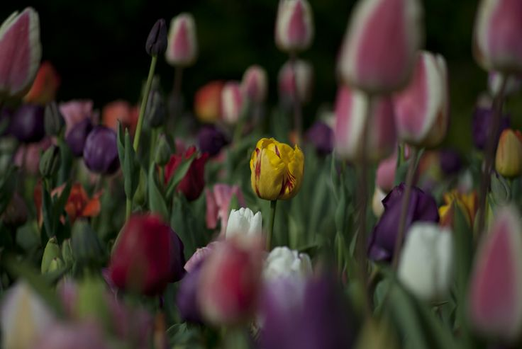 Moody tulips by Kannika Holzhaus