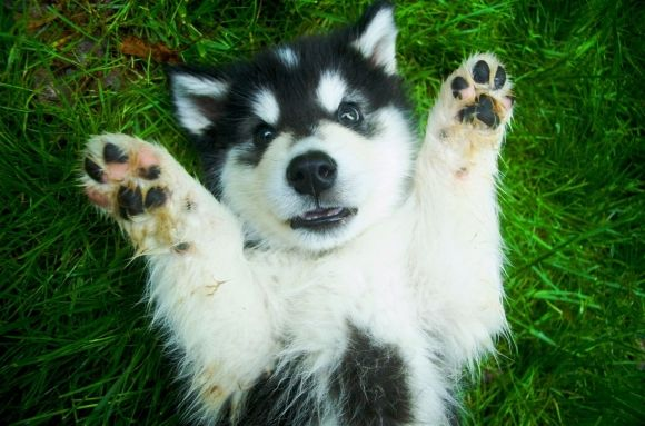 Alaskan Malamute(:: Animal Pictures, Alaskan Husky, Malamute, Adorbz Animal, Husky Dogs, Husky Puppies, Surpri Puppies, Adorable Animal, Cutest Animal