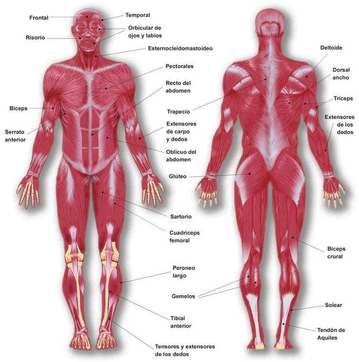 Anatomia de l'aparell locomotor