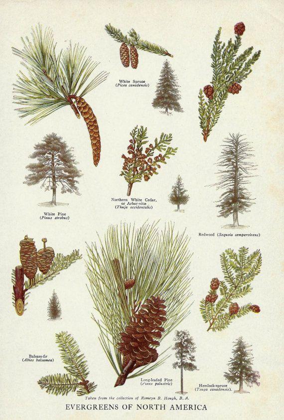 Vintage Evergreen Trees Pine Cones of North by zippitydoodlepaper