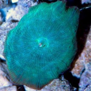 Ventes de Discosoma bleu dans notre boutique en ligne pour sublimer votre aquarium récifal - Coral Biome, Live Cultured Corals