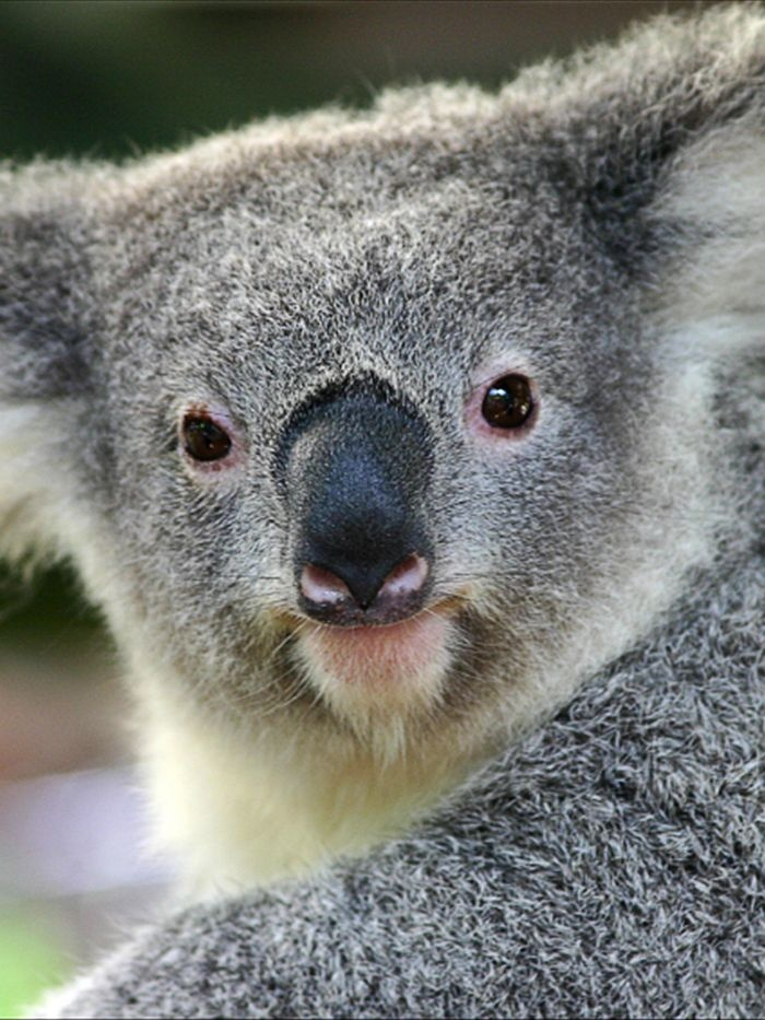 Sequencing of the koala genome has revealed a massive number of genetic markers (iStockphoto: hidesy)
