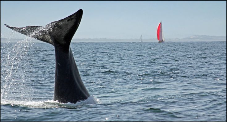 Whales - Simonstown, Western Cape - South Africa.