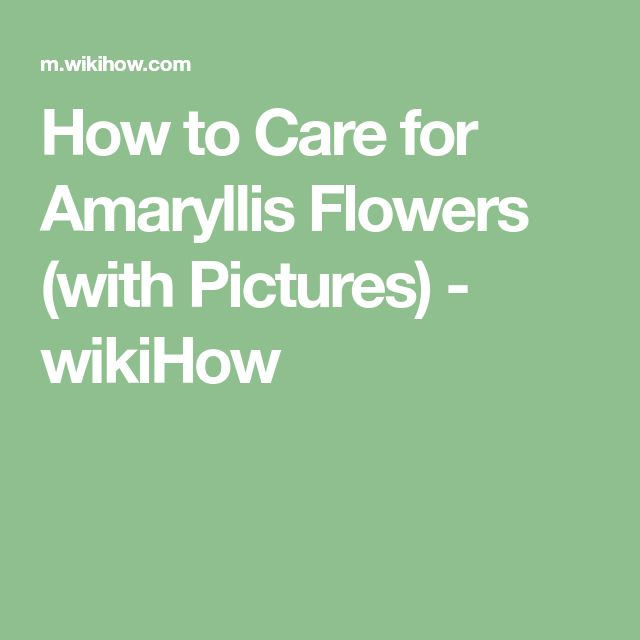 How to Care for Amaryllis Flowers (with Pictures) - wikiHow