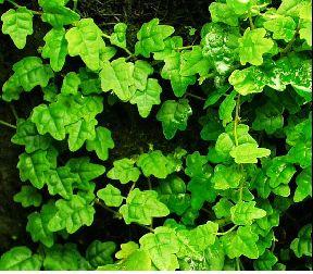 Ficus pumila var. quercifolia - Oak Leaf Creeping Fig